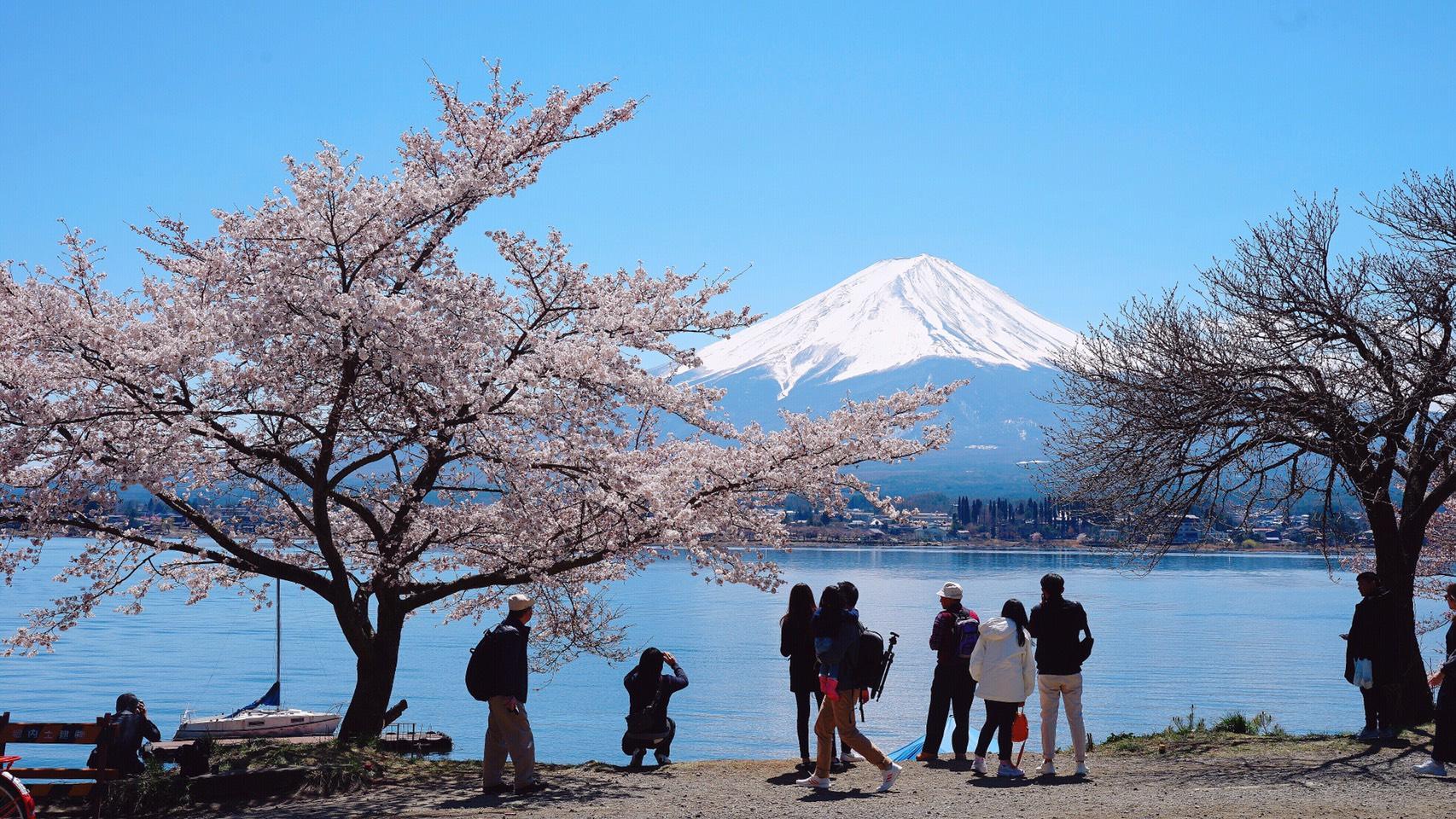 河口湖湖畔盛開的櫻花與遠眺富士山的人們